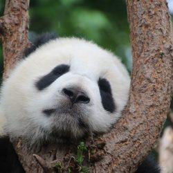 Chine panda-1236875