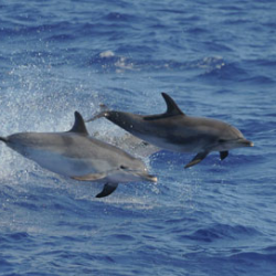 """3519 - ACORES : """"Mouvement Conscience  Souffle  Énergie"""" À la rencontre des baleines et dauphins sauvages - 1"""
